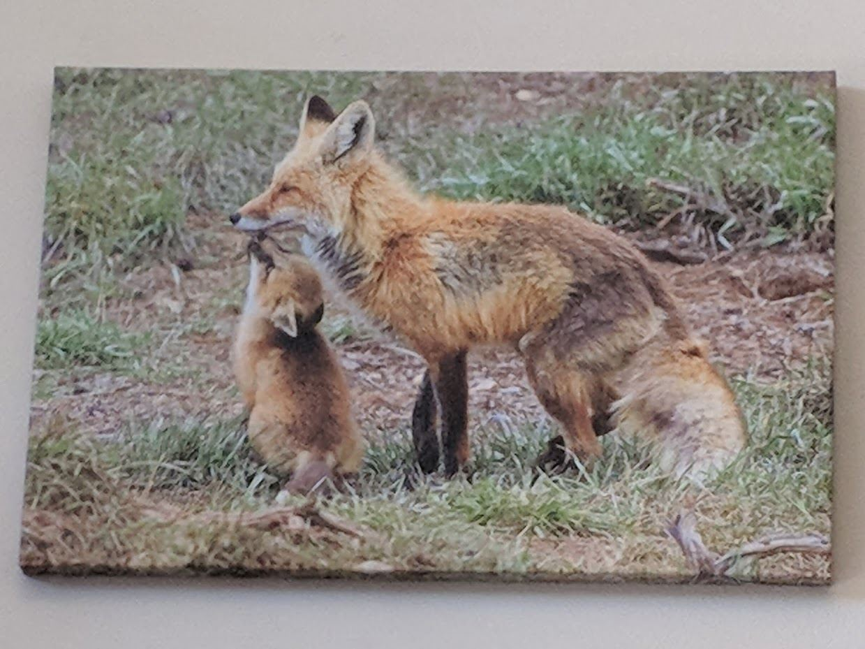 Photo showing mother fox and her baby
