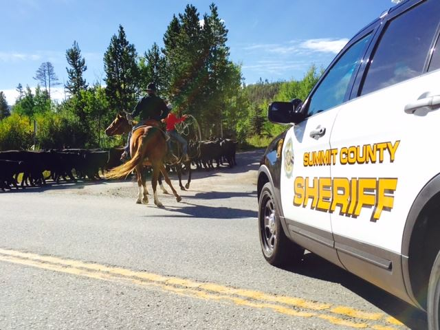 Cattle Drive in Summit County